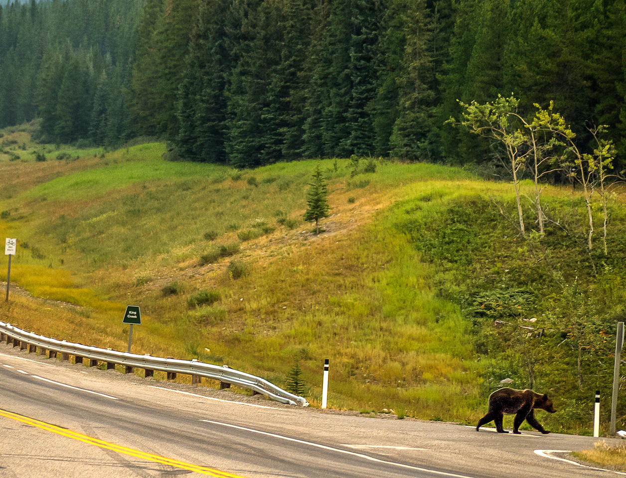 A young grizzly crosses the road at the junction of highway 40 and Kananaskis trail.