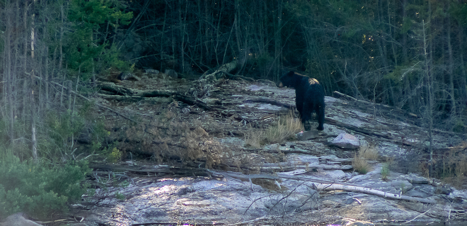 One more look back from mama bear before disappearing back into the bush.