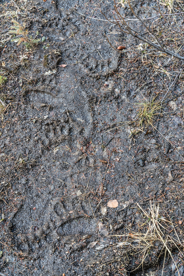 A myriad of grizzly tracks going every which way.
