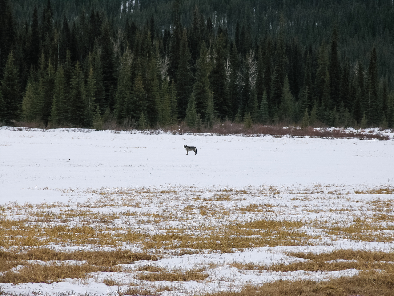 This is the first wolf I've seen in the wild. The funny part is he just laid down and looked at us after we stopped along hwy 93 to look at him.