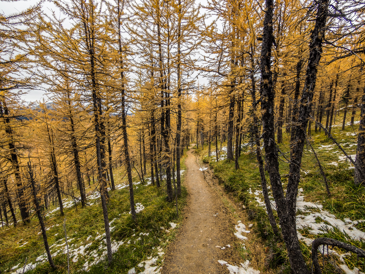 Larch forest on descent.